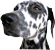 image of Seraphine, a dalmation dog